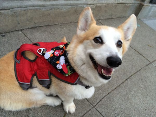 Grinning Red Pembroke Welsh Corgi In A Red Harness