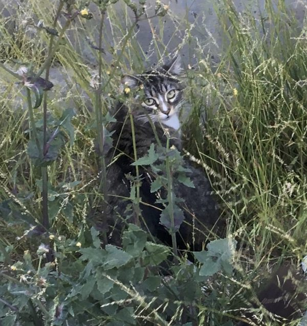 Tiger Tabby Cat In Long Grass