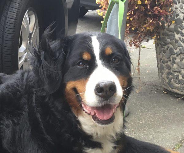 Bernese Mountain Dog Smiling