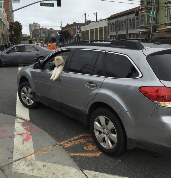 Cream And White Pomeranian Leaning Out The Driver's Side Window Of A Car