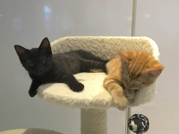 Black Kitten And Marmalade Tabby Kitten