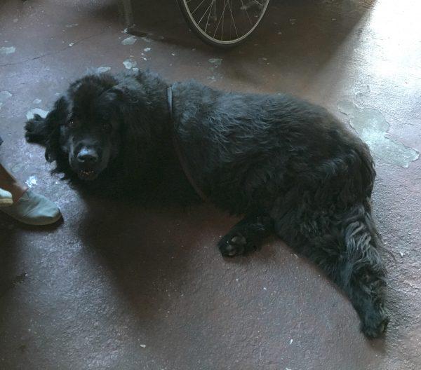 Newfoundland Dog Sprawled On The Floor
