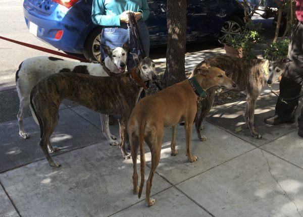 Four Greyhounds Socializing