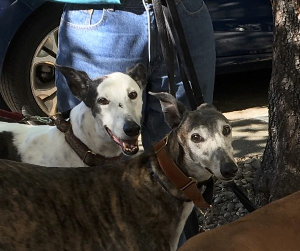 Two Greyhounds, One Grinning