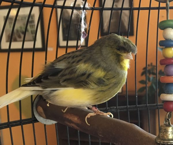 Gloster Canary In Cage