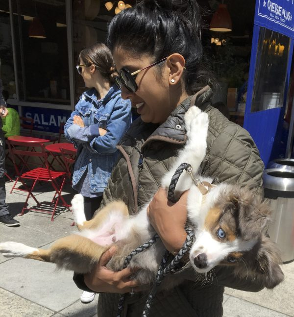 Woman Holding Miniature Australian Shepherd Puppy Sprawled In Her Arms
