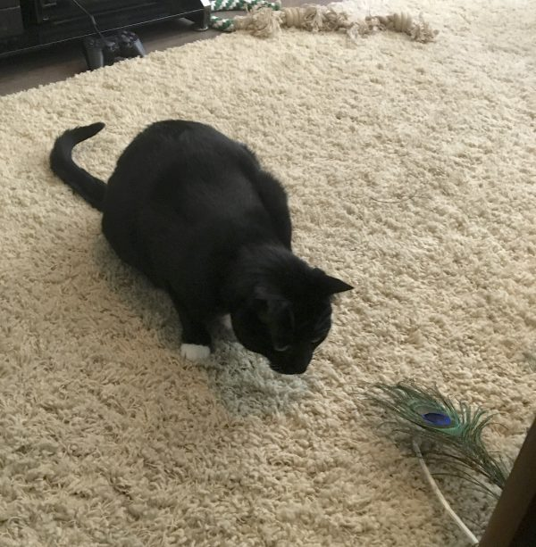 Tuxedo Cat Looking At A Peacock Feather