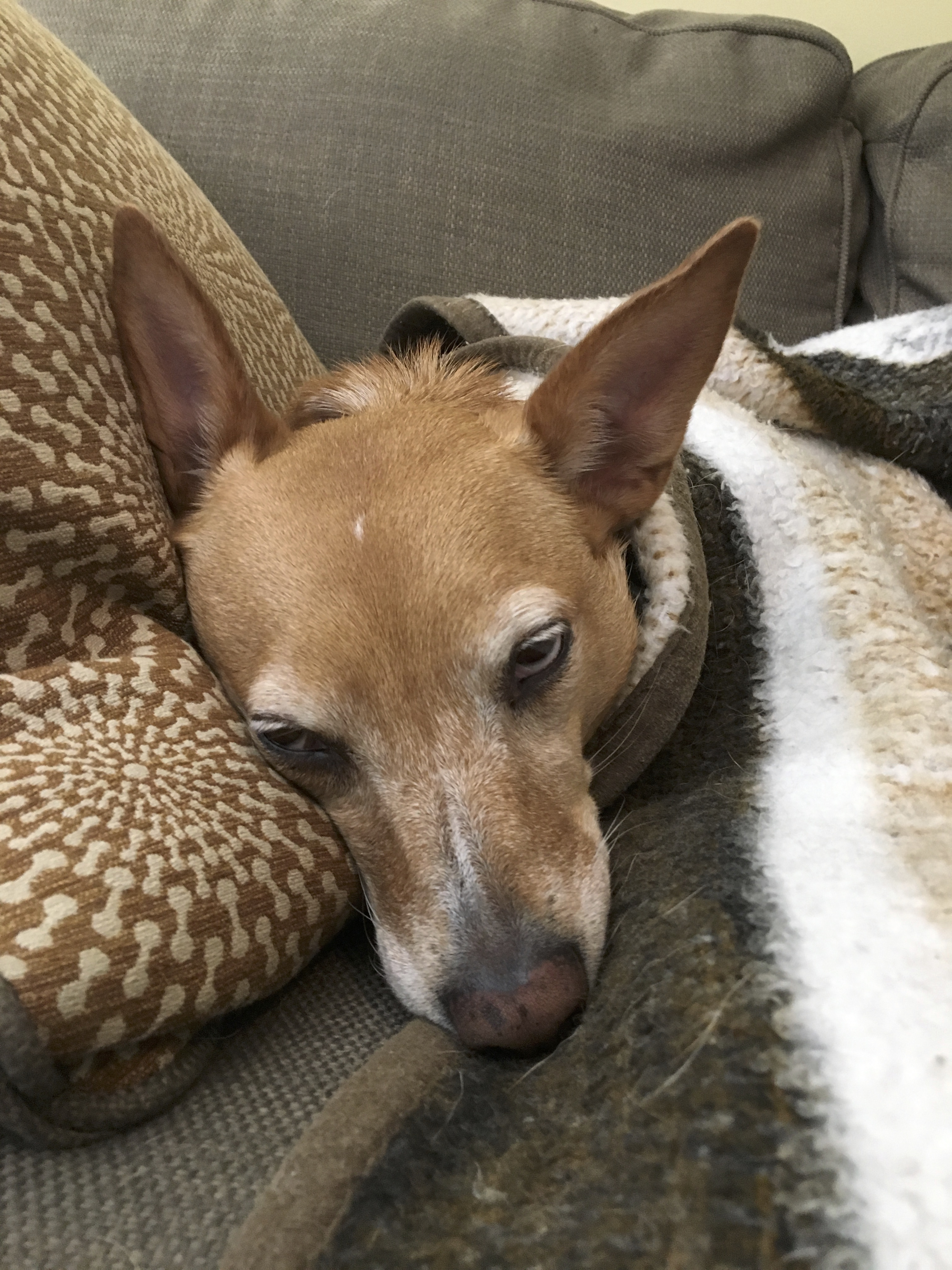 Australian Shepherd Mix Tucked Under A Blanket