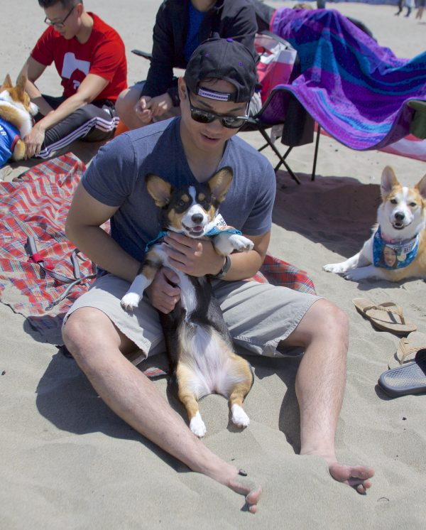 Man Holding Tricolor Pembroke Welsh Corgi Puppy Up So His Belly Is Showing
