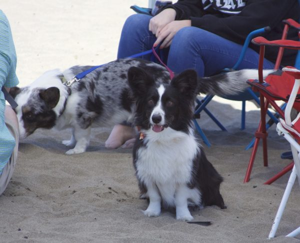 Pembroke Welsh Corgi Border Collie Mix
