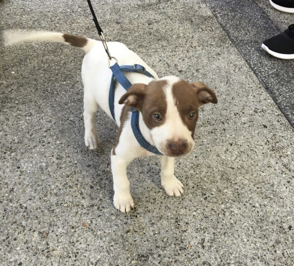 3-Month-Old American Pit Bull Terrier Mix Puppy Wagging