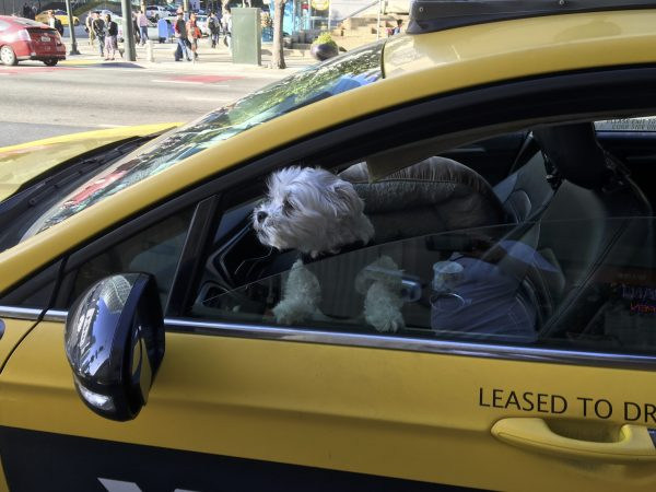 Small White Dog Driving A Taxi Cab