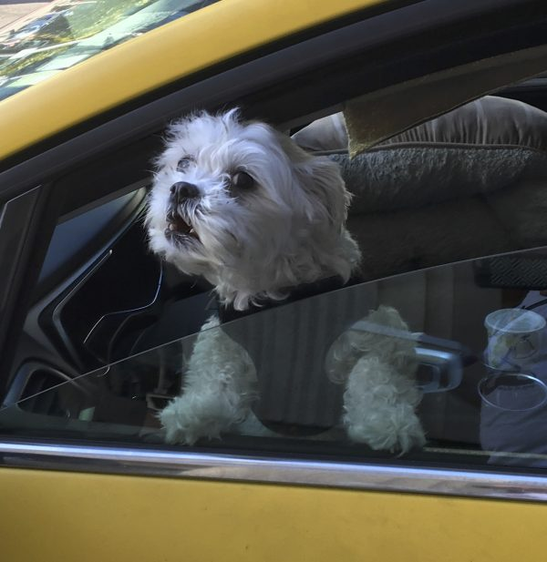 Little White Dog Looking Out The Driver's Side Window Of A Yellow Taxicab