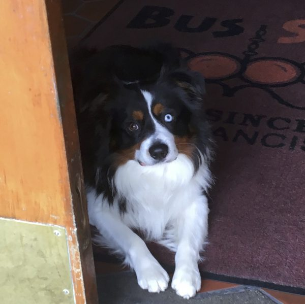 Derpy-Looking Tricolor Australian Shepherd With One Blue Eye And One Brown Eye Lying Down At The Bus Stop Saloon In Cow Hollow, San Francisco, California