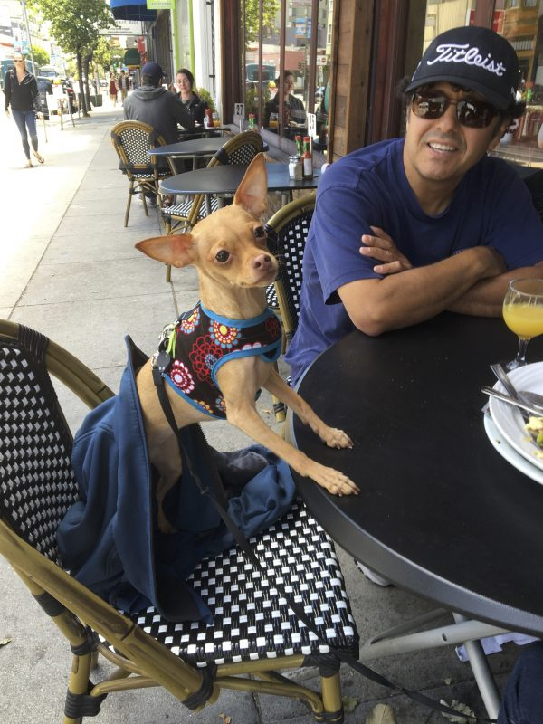 Miniature Pinscher Chihuahua Mix Sitting At A Table At An Outdoor Cafe