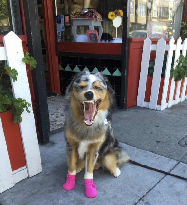 Blue Merle Tricolor Australian Shepherd In Pink Boots Yawning With Eyes Closed