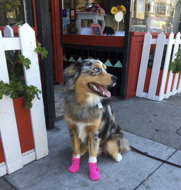 Blue Merle Tricolor Australian Shepherd In Pink Boots