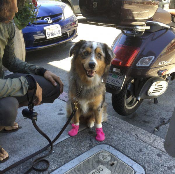 Blue Merle Tricolor Australian Shepherd In Pink Boots Smiling