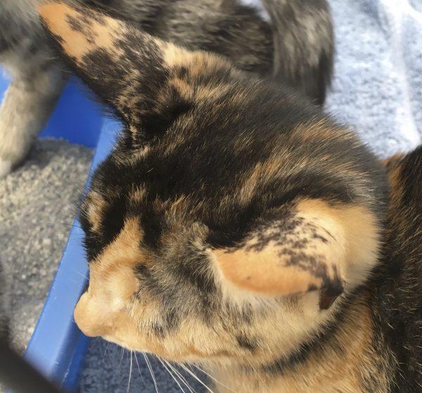 Kitten, Half Black And Half Marmalade Tiger