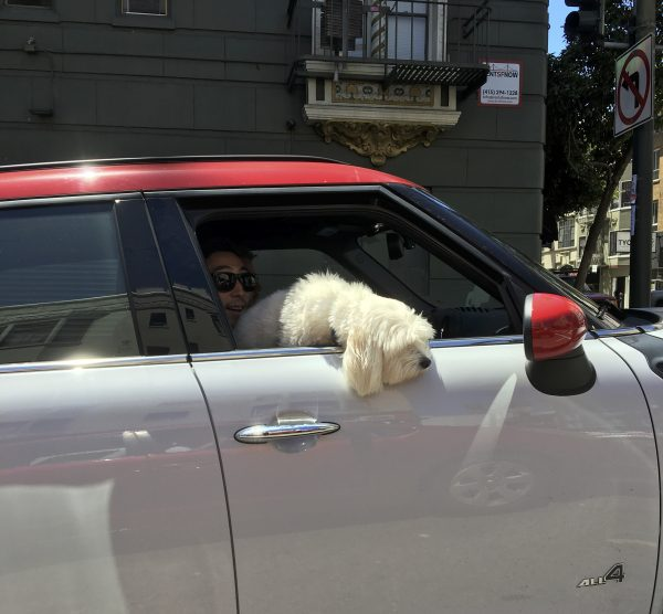 Small Fluffy White Poodle Mix Looking Out Of Mini Window