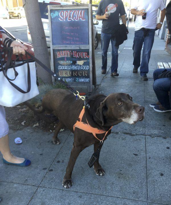 Chocolate Labrador Retriever Great Dane Mix With Three Legs