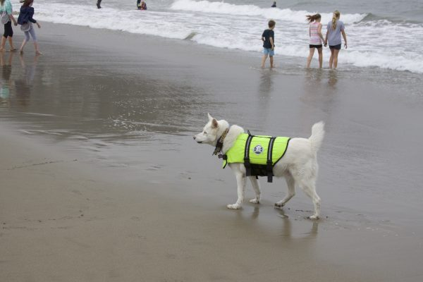 Blue-Eyed White Husky In A Green Life Jacket On A Beach