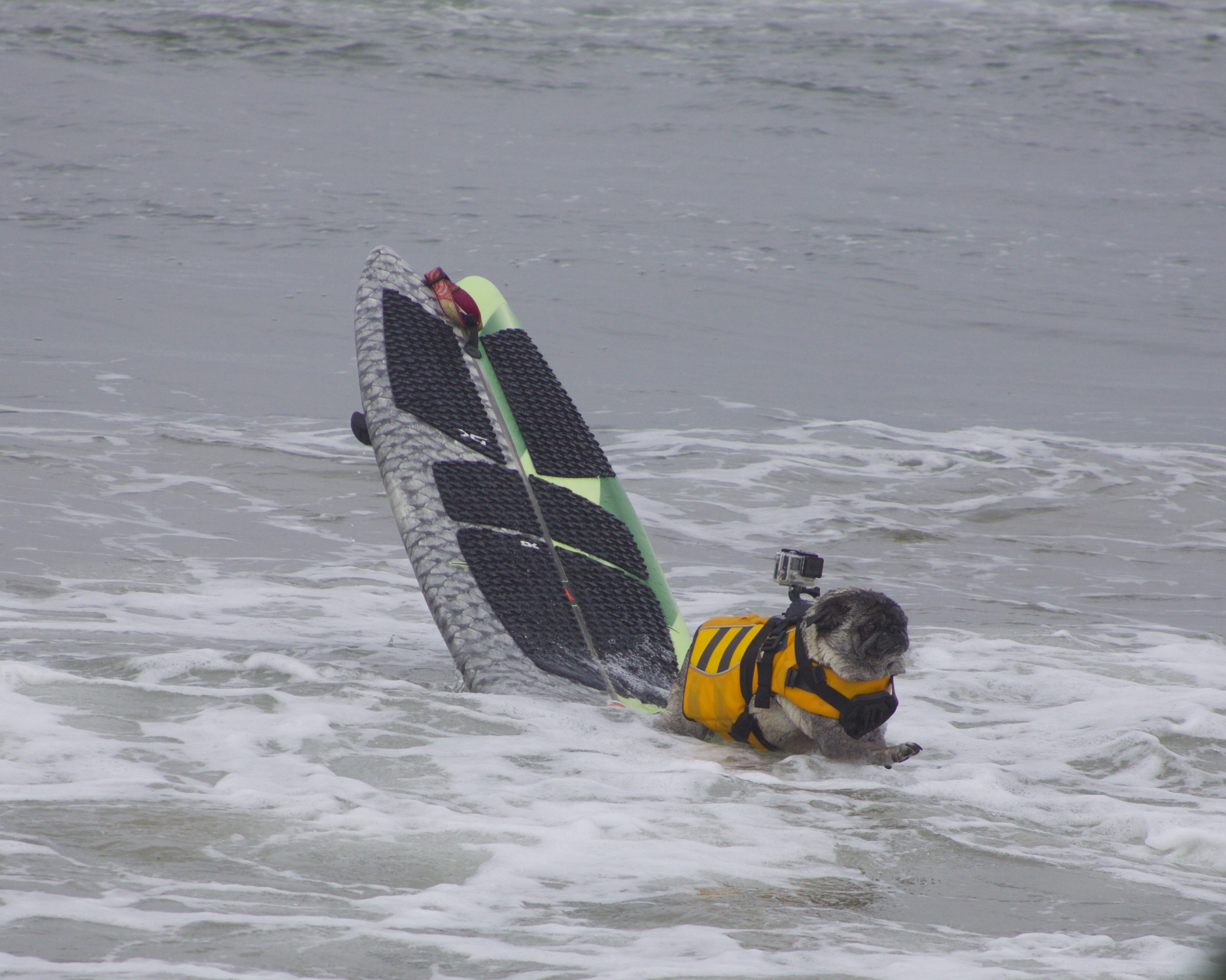 Pug In Yellow Life Jacket With Gopro Attached Dismounts Green And Grey Surfboard