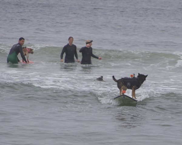 Dog Standing On Surfboard While Looking Backwards