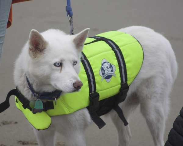 White Siberian Husky In A Green Life Jacket On A Beach