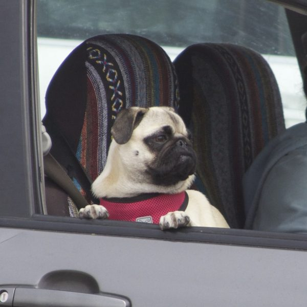 Pug Puppy Sitting In Car Staring Out The Window