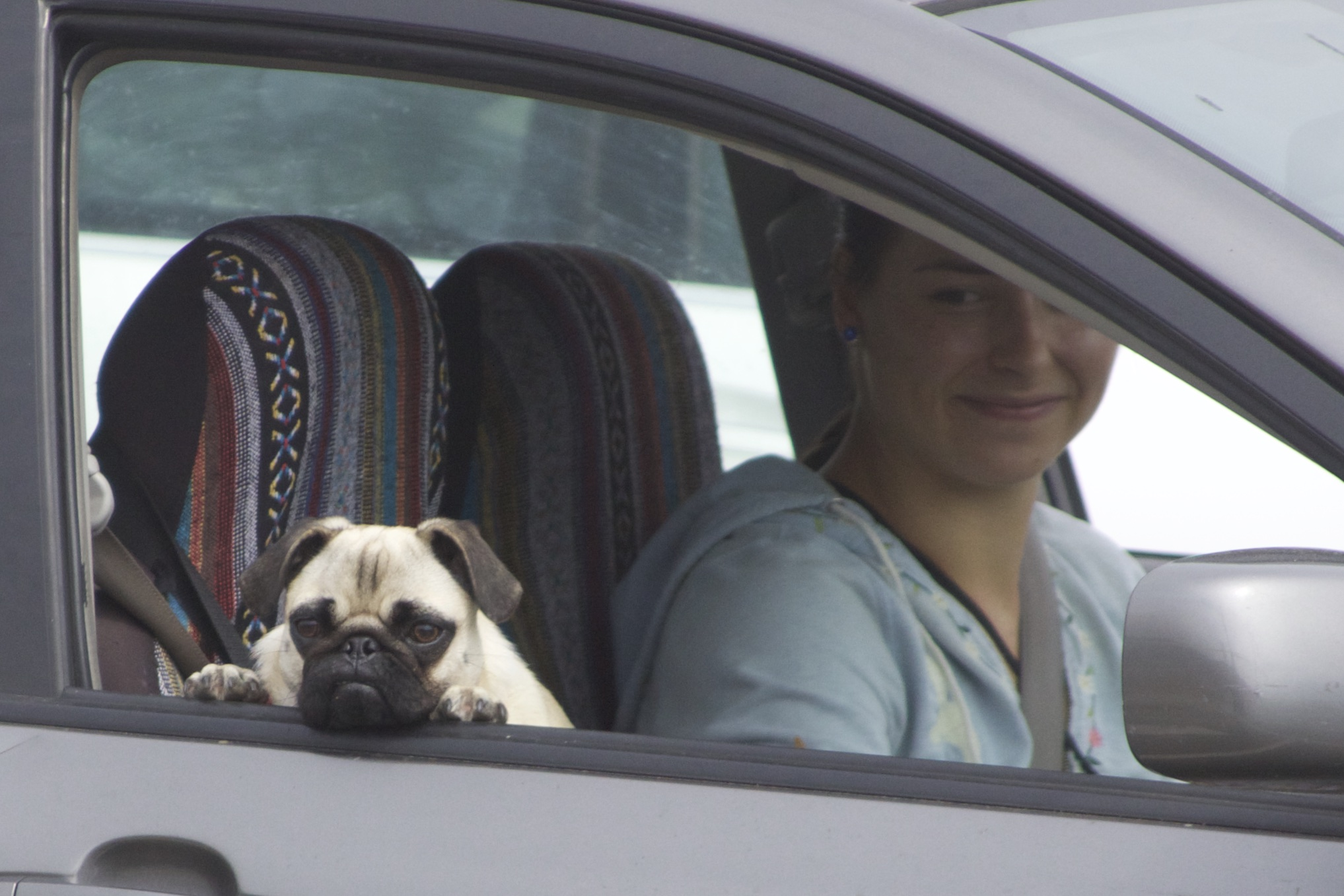 Pug Puppy Looking Out Of Car And Resting Her Head On The Door