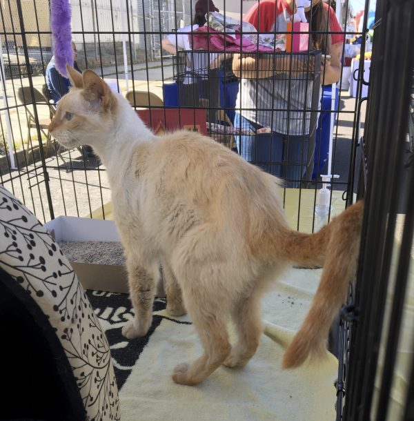 Cream Cat With Orange Tail Stands In Cage