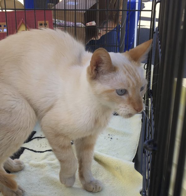 Cream Cat With Faint Tiger Markings On Face Stands In Cage