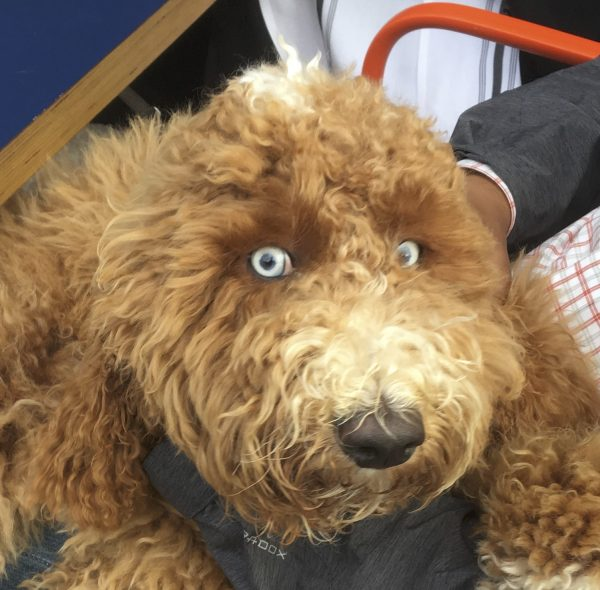 Brown Labradoodle With Tan Markings And Disturbingly Bright Blue Almost-Human-Looking Eyes