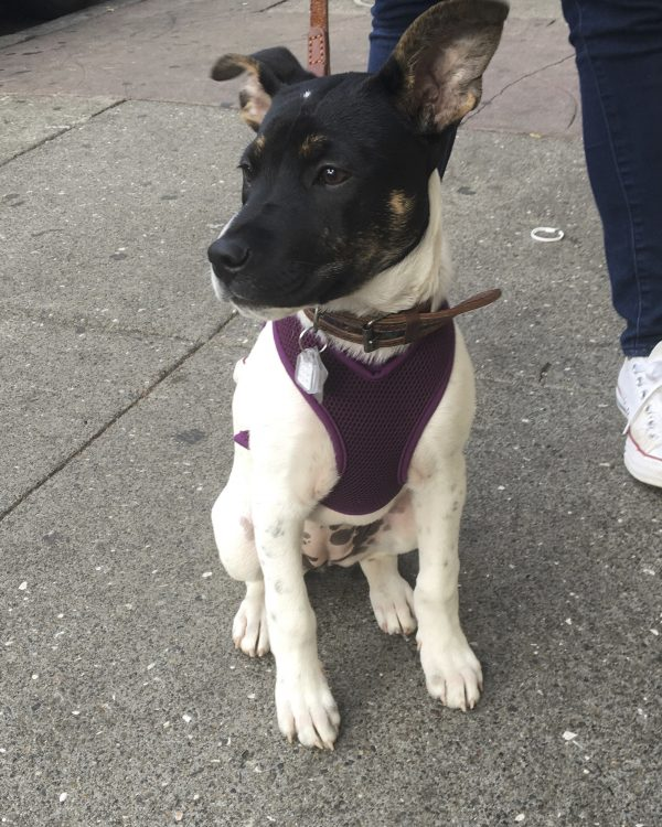 Mixed Breed Puppy With Awesome Eyebrows And Humongous Ears Looking Ostentatiously Away From Camera