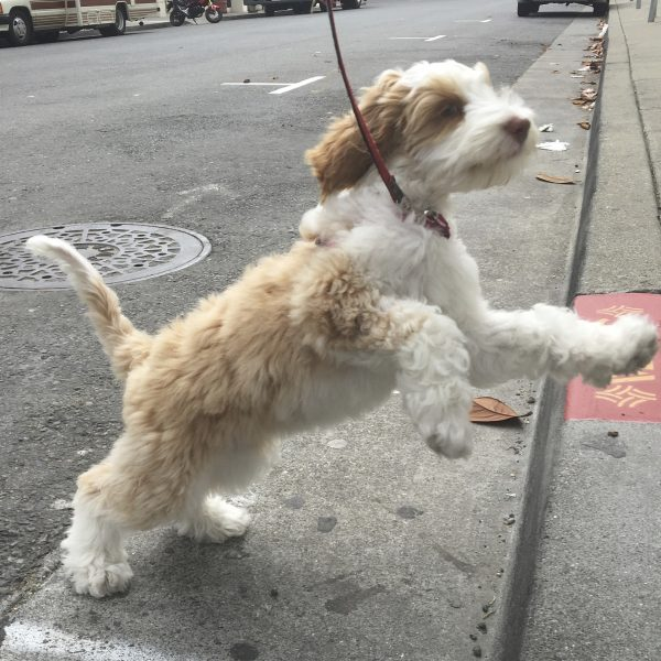 Brown And White Cockapoo Poodle Cocker Spaniel Mix Puppy Leaping
