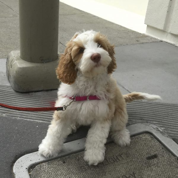 Brown And White Cockapoo Poodle Cocker Spaniel Mix Puppy