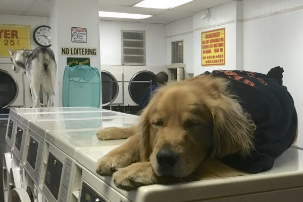Golden Retriever Snoozing On Laundromat Washers While Husky Stands On Them