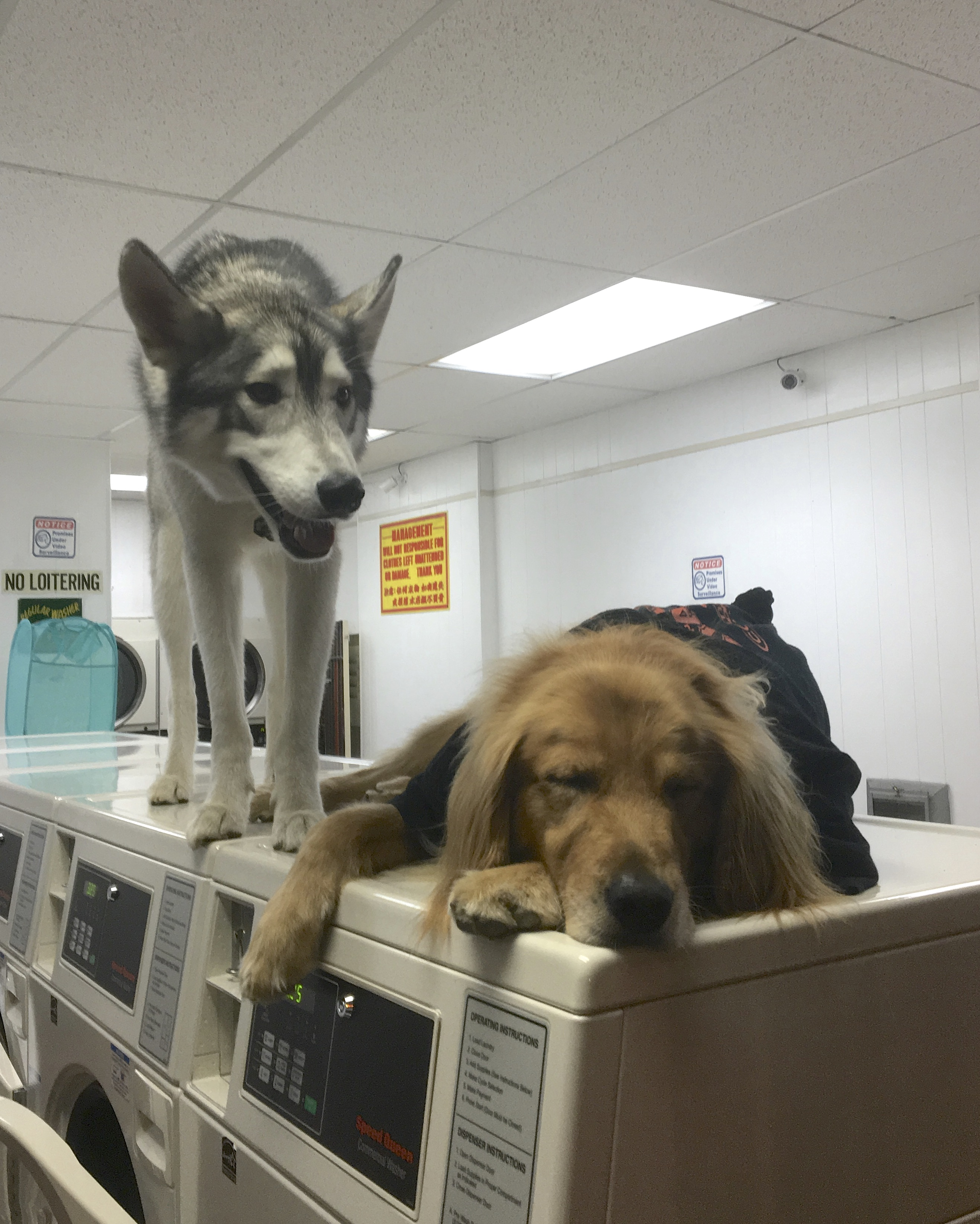 Golden Retriever And Siberian Husky On Commercial Washing Machines In A Laundromat