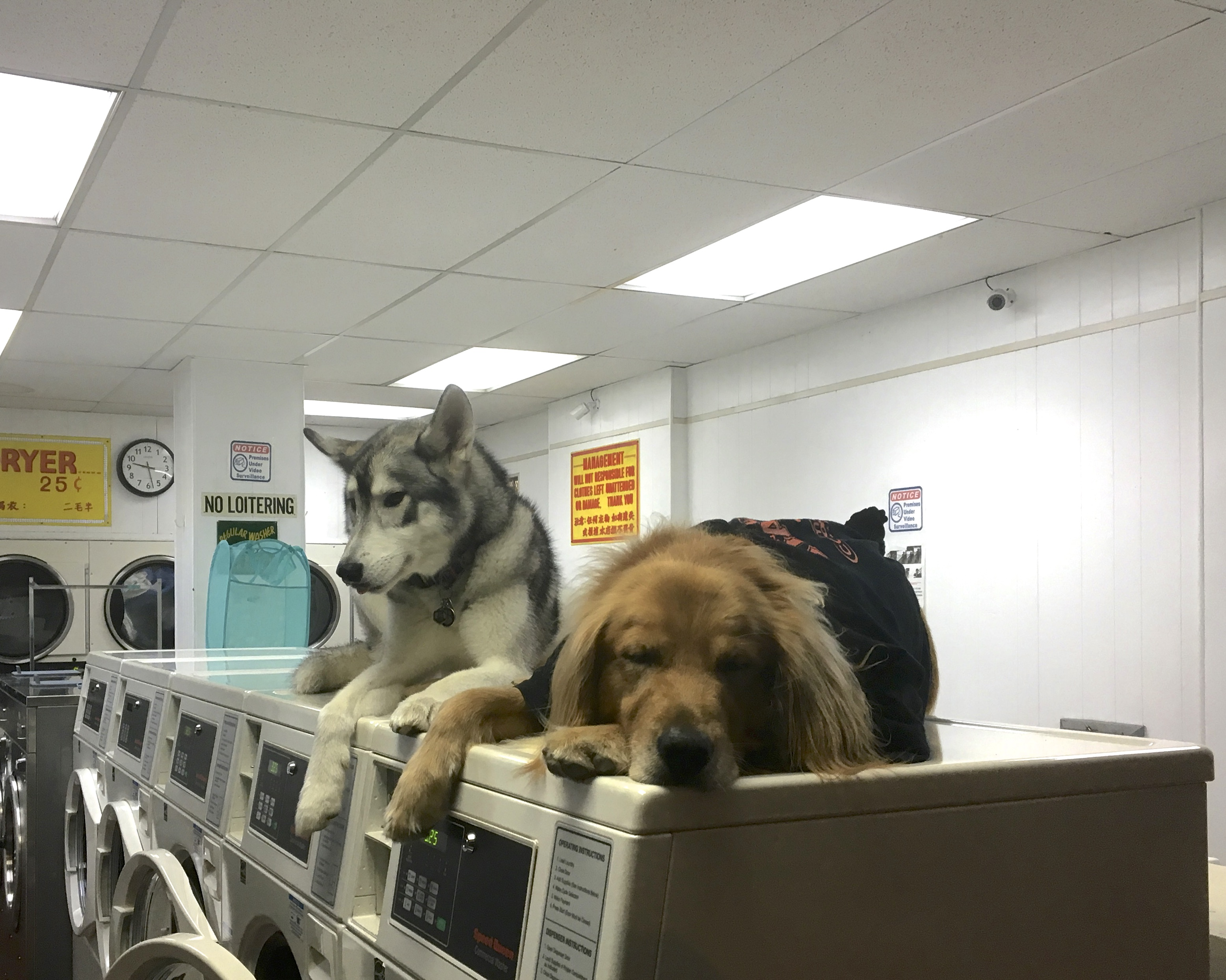 Siberian Husky And Golden Retriever Lying On Commercial Washers In A Laundromat
