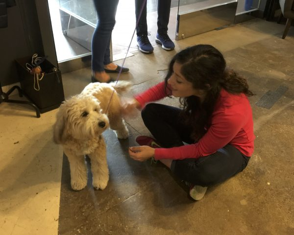 Woman Petting Wheaten Terrier Poodle Mix