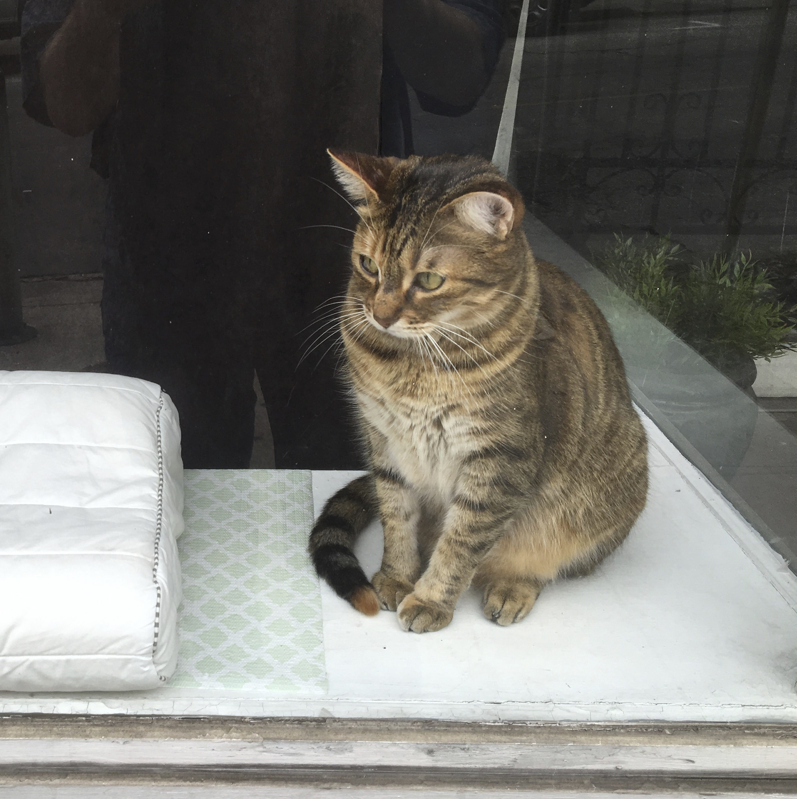Tiger Tabby Sitting In A Window