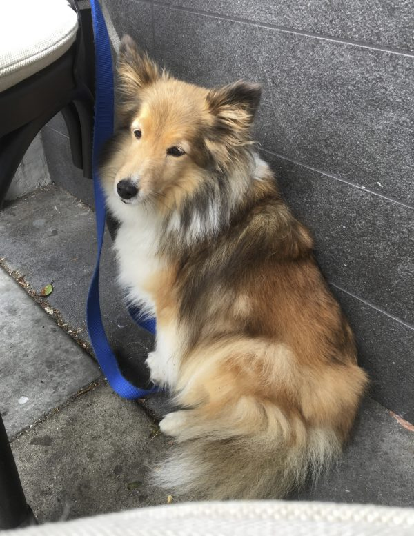 Sheltie Leaning Casually Against A Wall