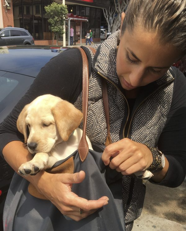 Woman Holding Purse Containing 8-Week-Old Labrador Retriever Puppy
