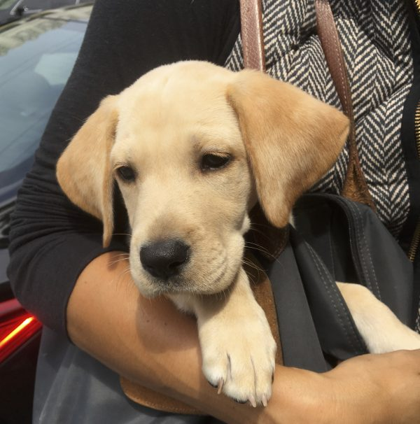 8-Week-Old Labrador Retriever Puppy In A Purse