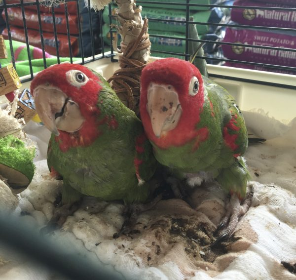 Two Cherry-Headed Conures In A Cage