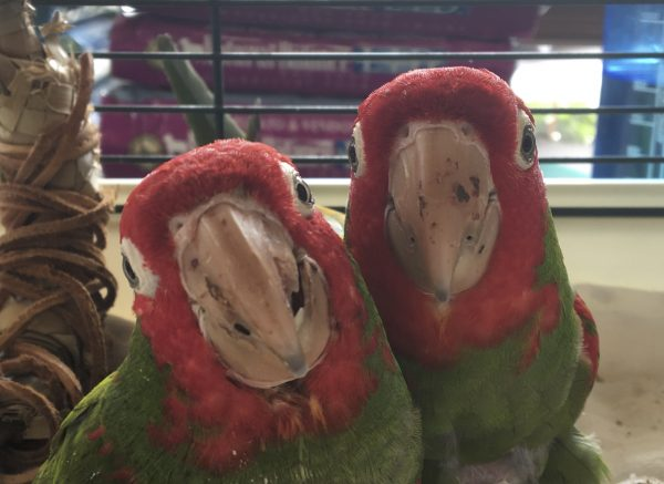 A Closeup Of Two Cherry-Headed Conures Smiling For The Camera