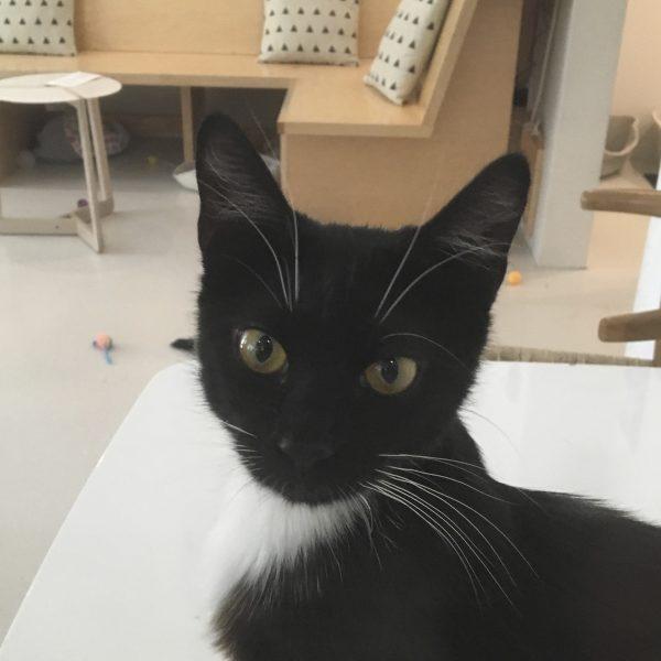 Tuxedo Kitten Looking At The Camera
