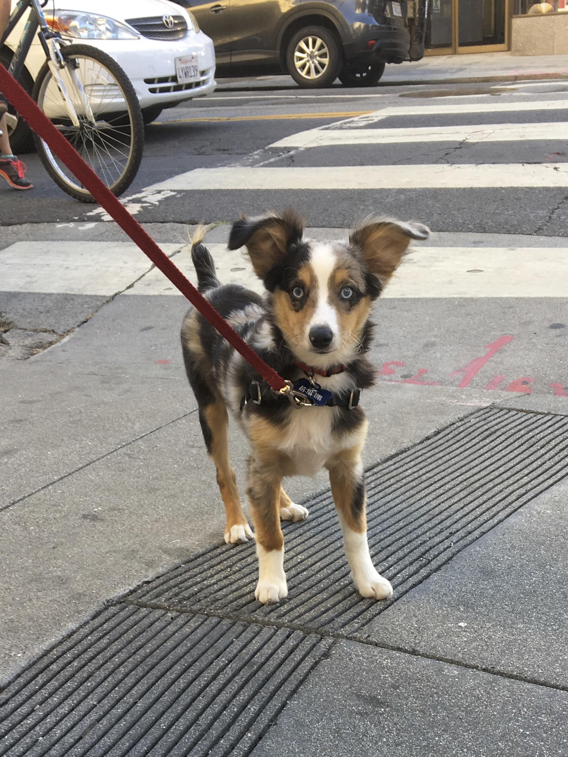 Miniature Tricolor Australian Shepherd Puppy With Humongous Ears
