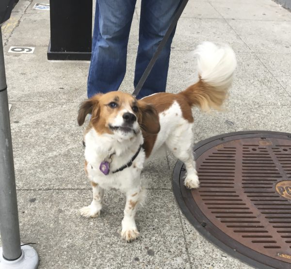 Basset Hound Brittany Spaniel Mix That Looks Like A Brittany Spaniel With No Legs And A Horse's Tail Making A Funny Face